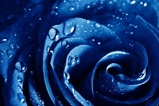 blue_rose_highdefinition_picture_166926