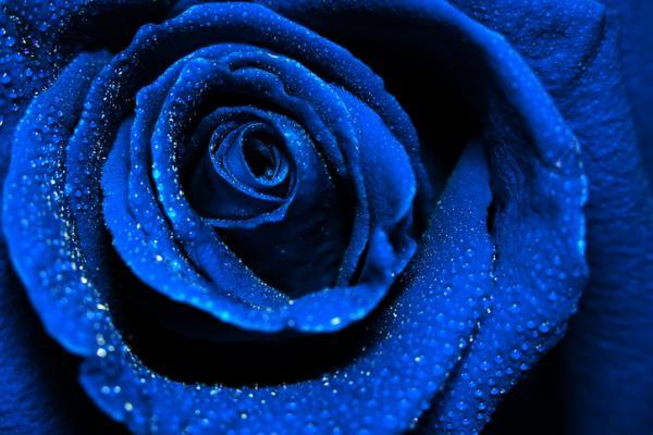 img_qual_e_il_significato_delle_rose_blu_11153_600